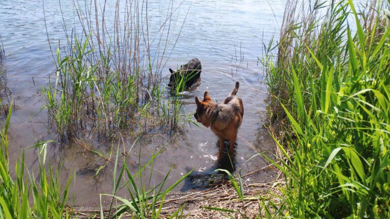 Hunde gehen schwimmen