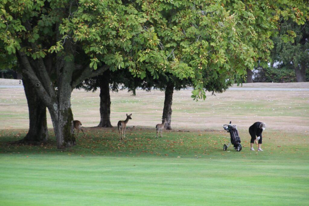 Eine Golferin neben Rehen