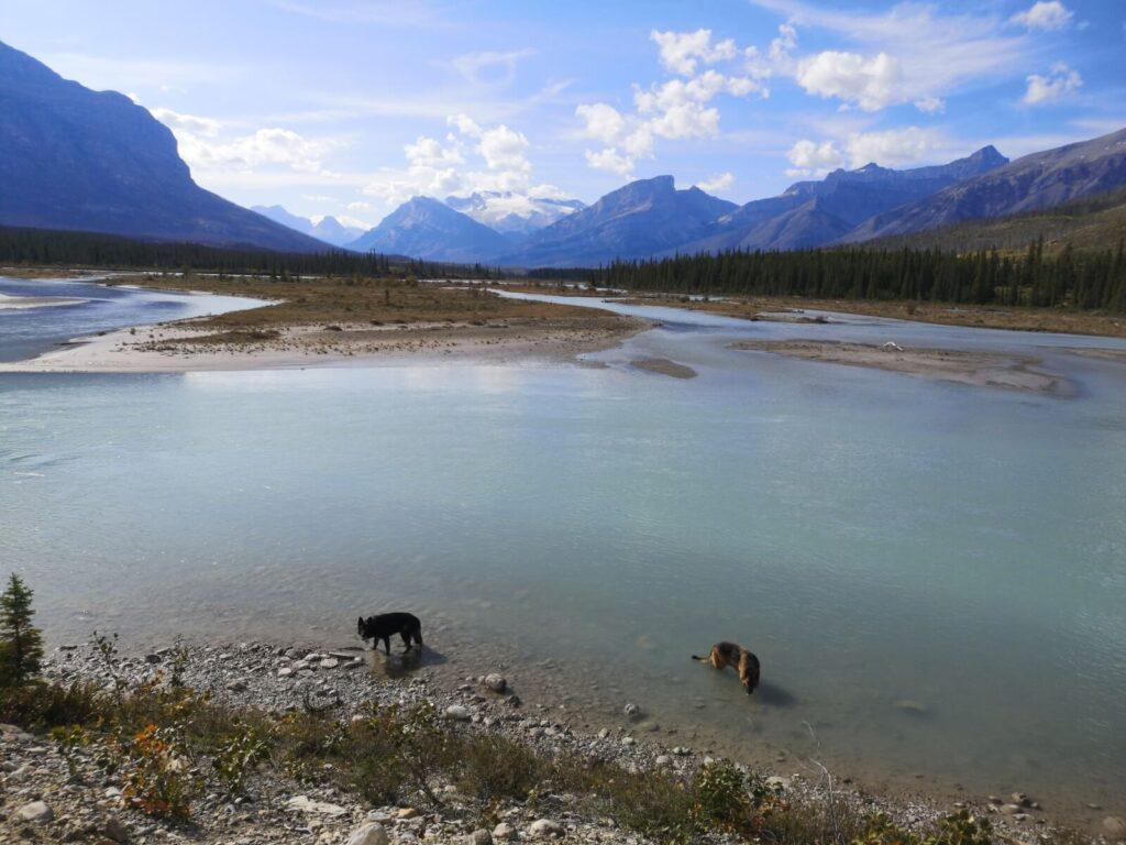 Hunde im Wasser bei Jasper