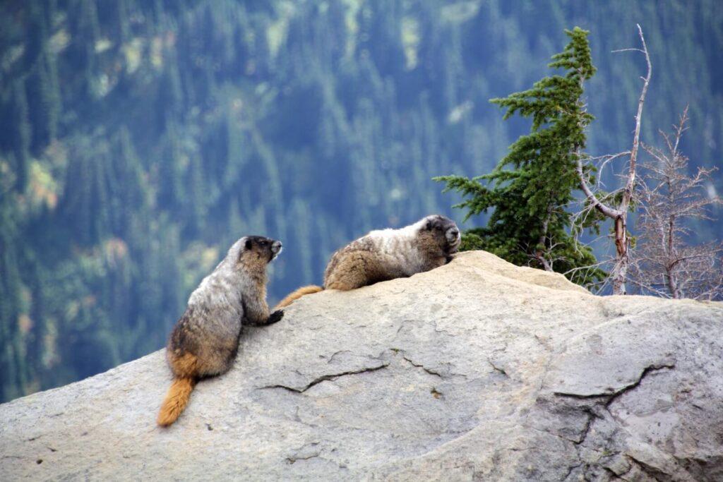Zwei Murmeltiere am Mt Rainier