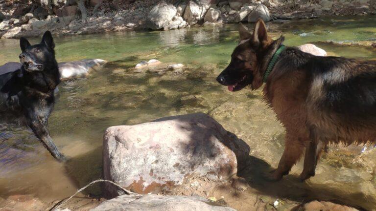 Hunde im Fluß
