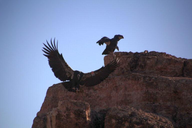 Condor 4