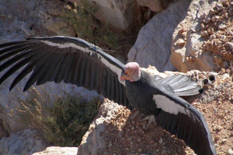 Condor 5