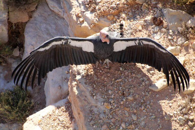 Condor 6
