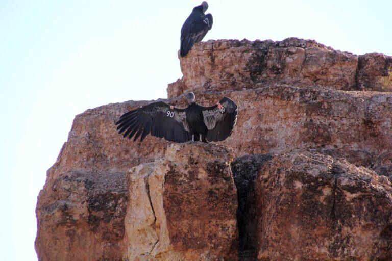 Condor 8