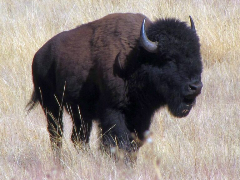 Northrim Bison