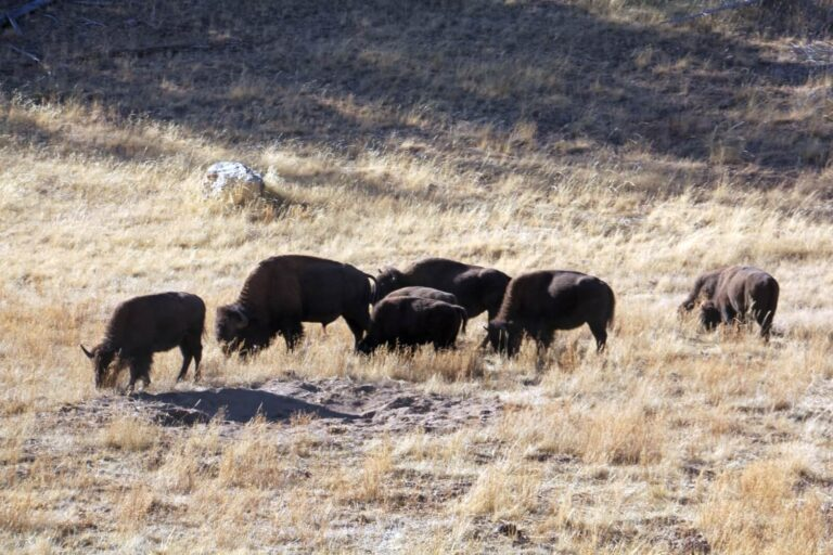 Grand Canyon Bisons