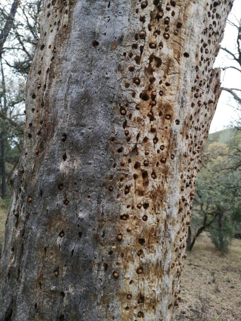 Baum mit Eicheln