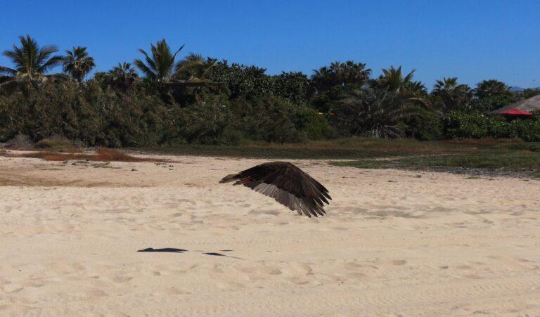 Huhn Geier fliegt