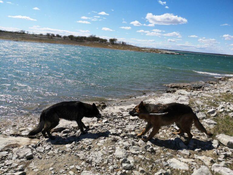 Hunde zerren Stock