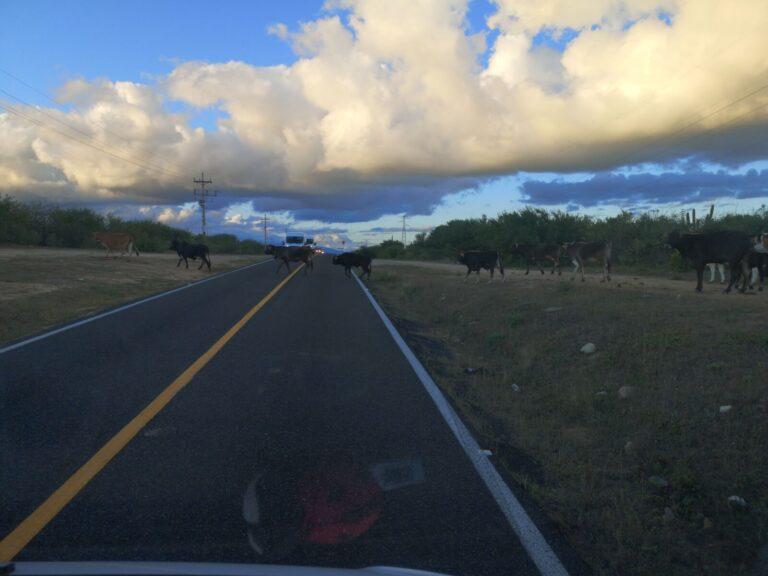 Kühe kreuzen