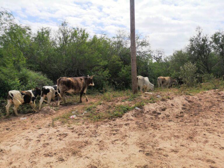 Kühe wandern ihren Weg