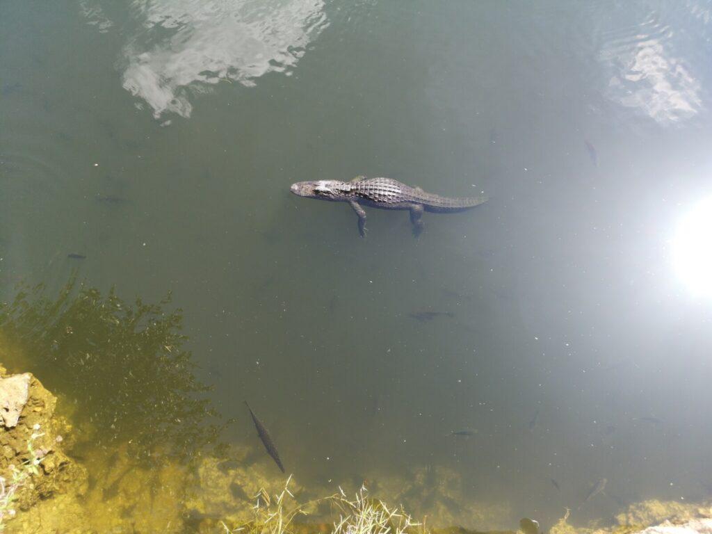schwebender Alligator
