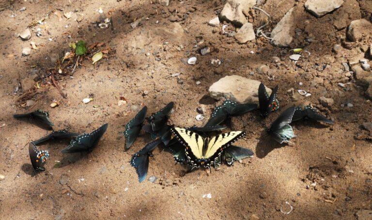 Schmetterlinge New River Gorge