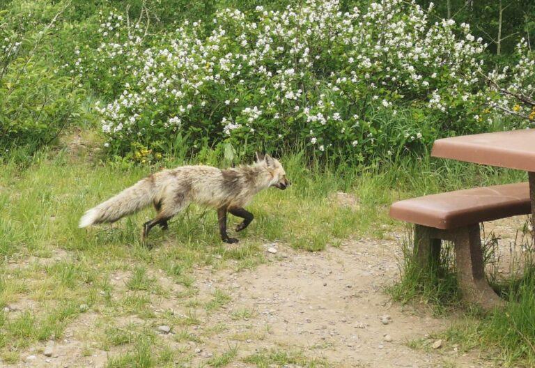 Grand Teton Fuchs