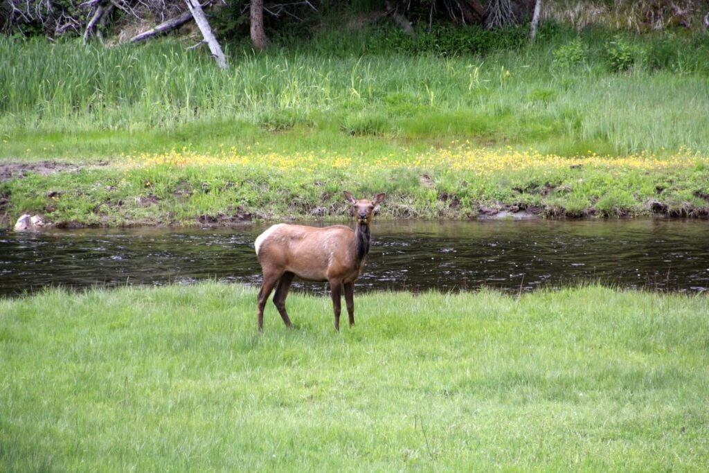 Rotwild im Yellowstone