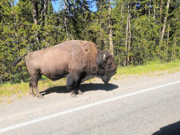 Yellowstone dicker Bison