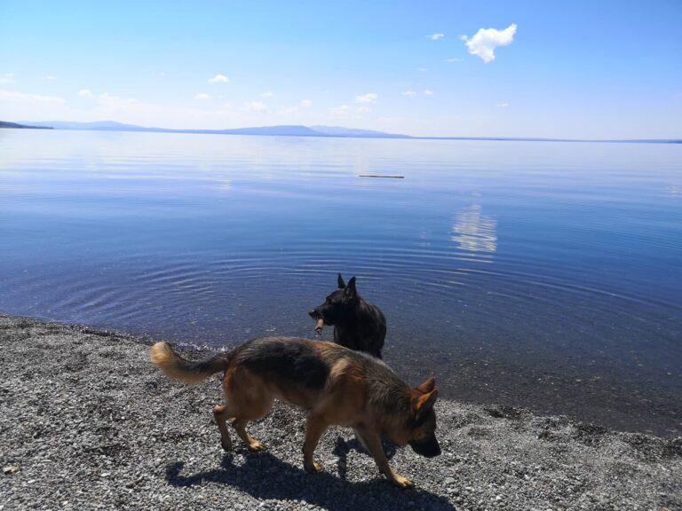 Yellowstone Lake Hundeschwimmen