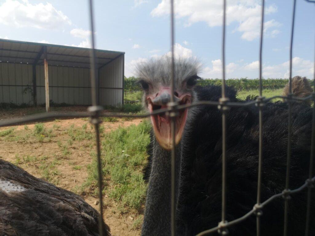 Schnabel auf Blue Ostrich
